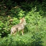 Wolf - leider nur von hinten
