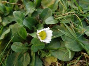 Gänseblümchen am 31.12.2012